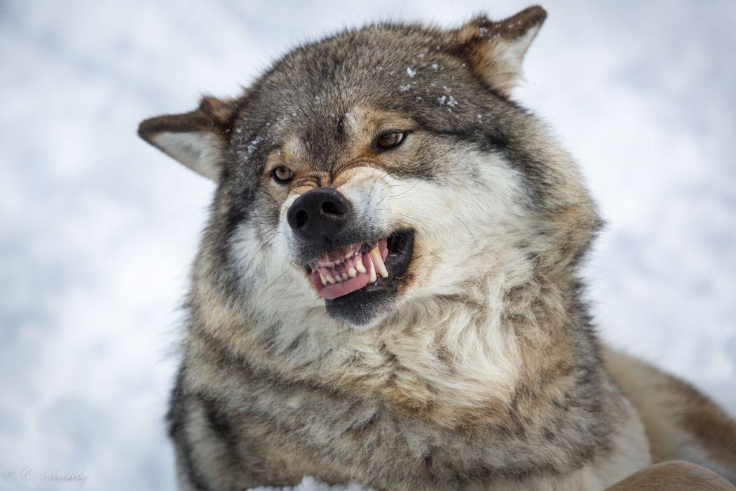 Wolves Roar Animals wolf wallpaper
