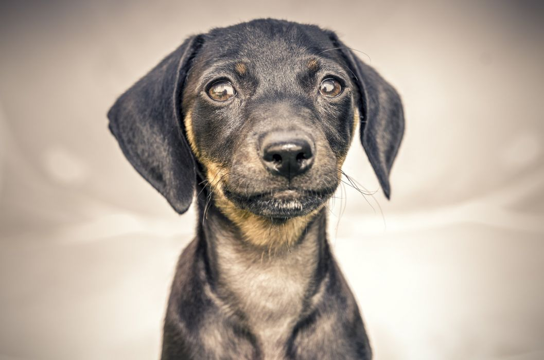 Dogs Glance Puppy Animals wallpaper