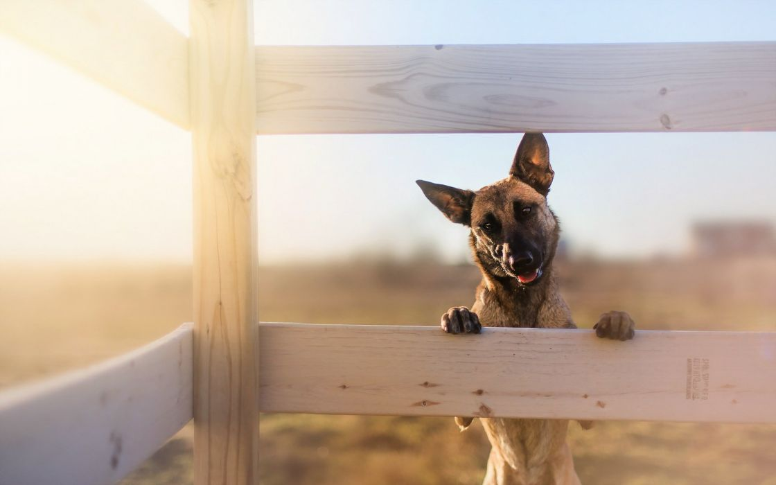 Dogs Shepherd Fence Animals wallpaper