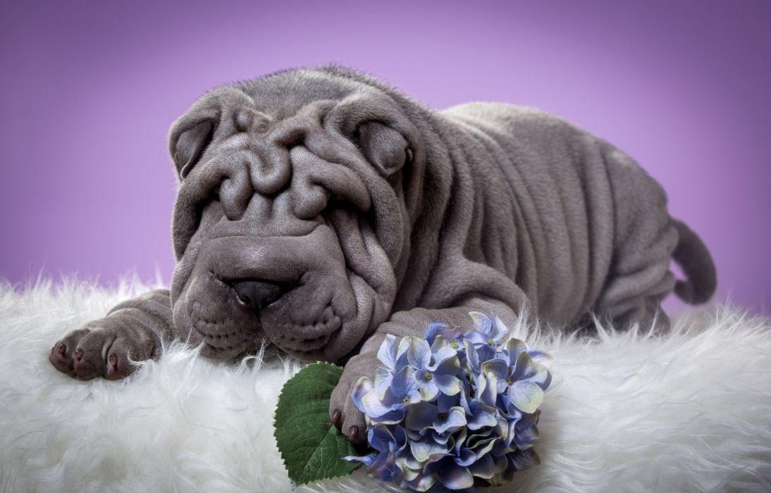 Dogs SharPei Grey Animals wallpaper