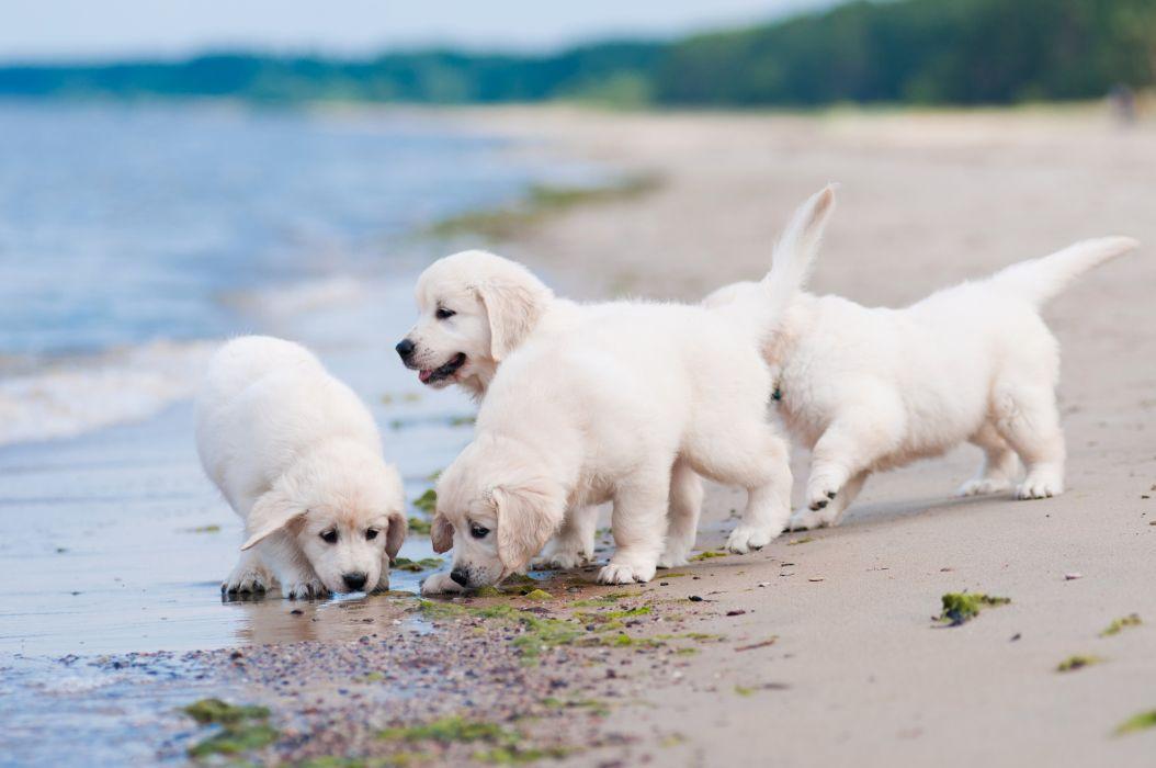 Dogs Coast Retriever Puppy White golden Animals wallpaper