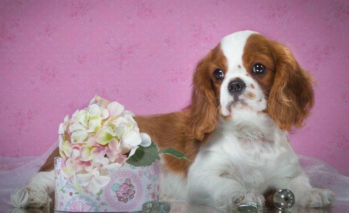 Dogs Spaniel Puppy Animal wallpaper