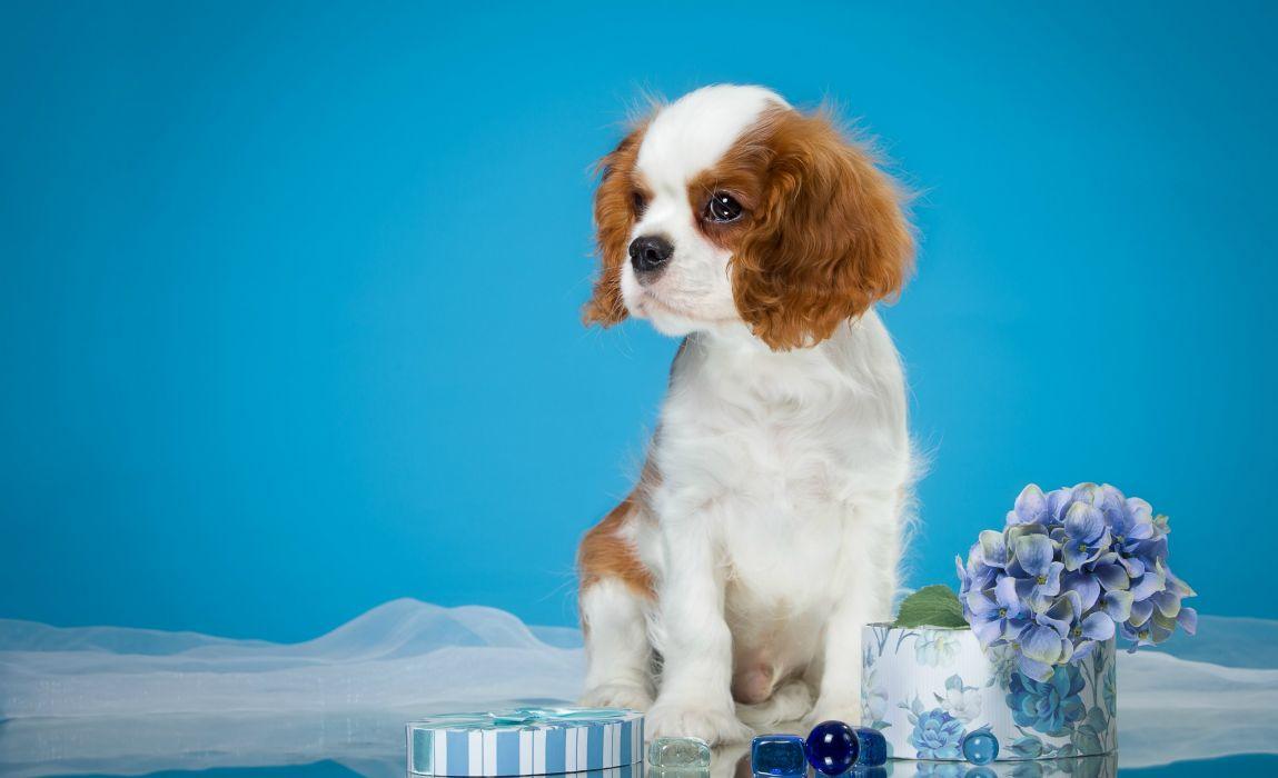Dogs Spaniel Puppy Animals wallpaper