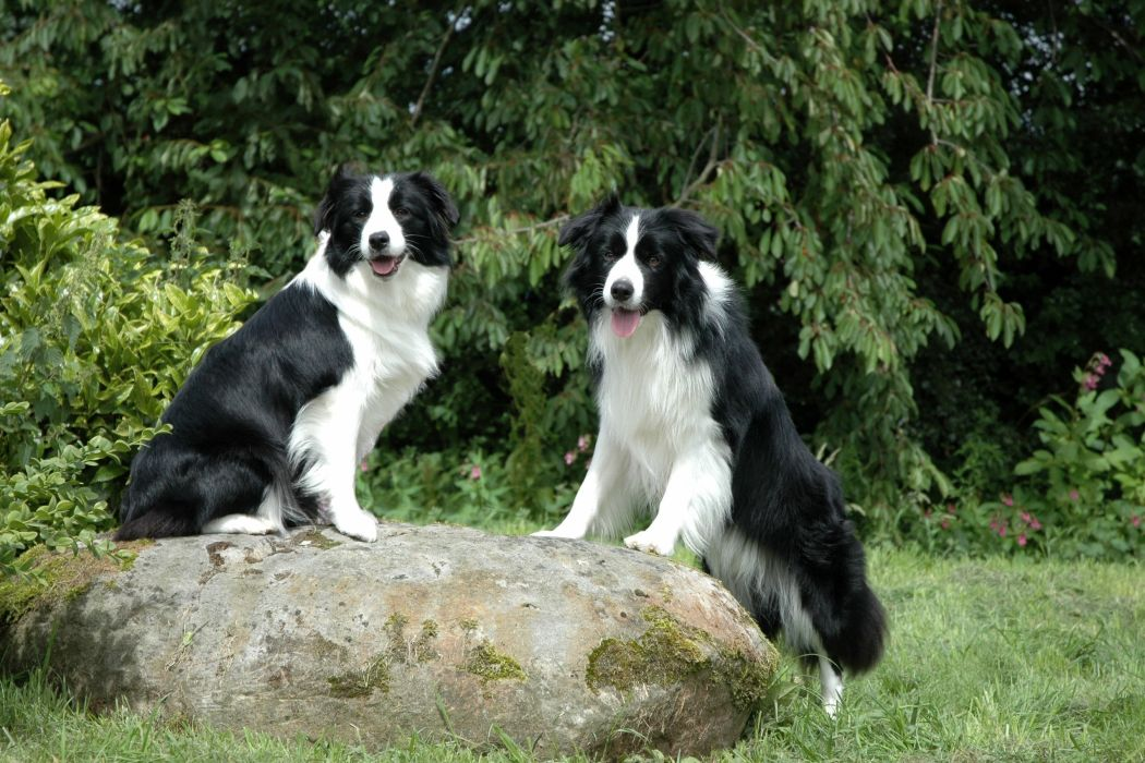 Dogs Stones Two Border Collie Animals wallpaper