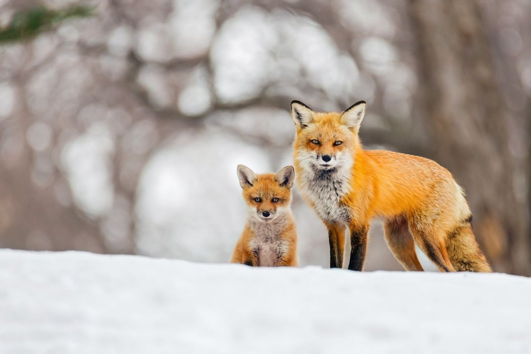 Foxes Cubs Snow Two fox wallpaper