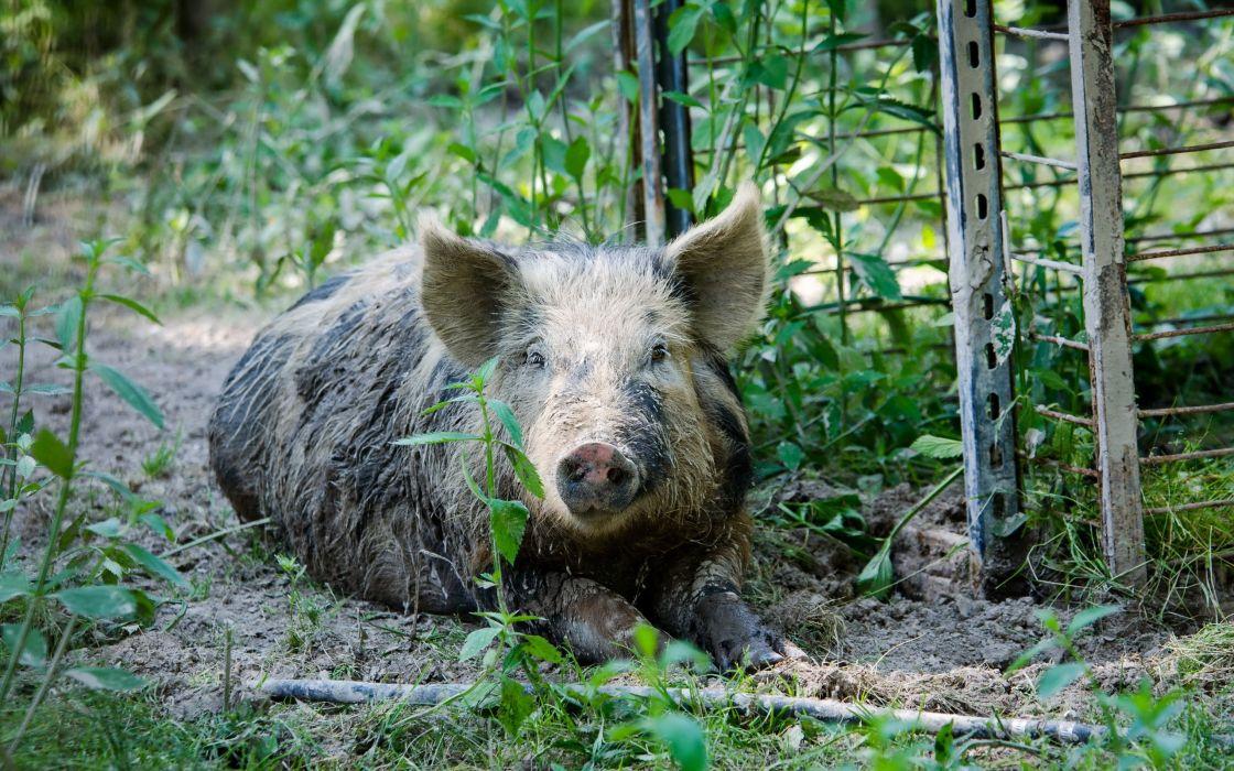 Domestic pig Animals wallpaper