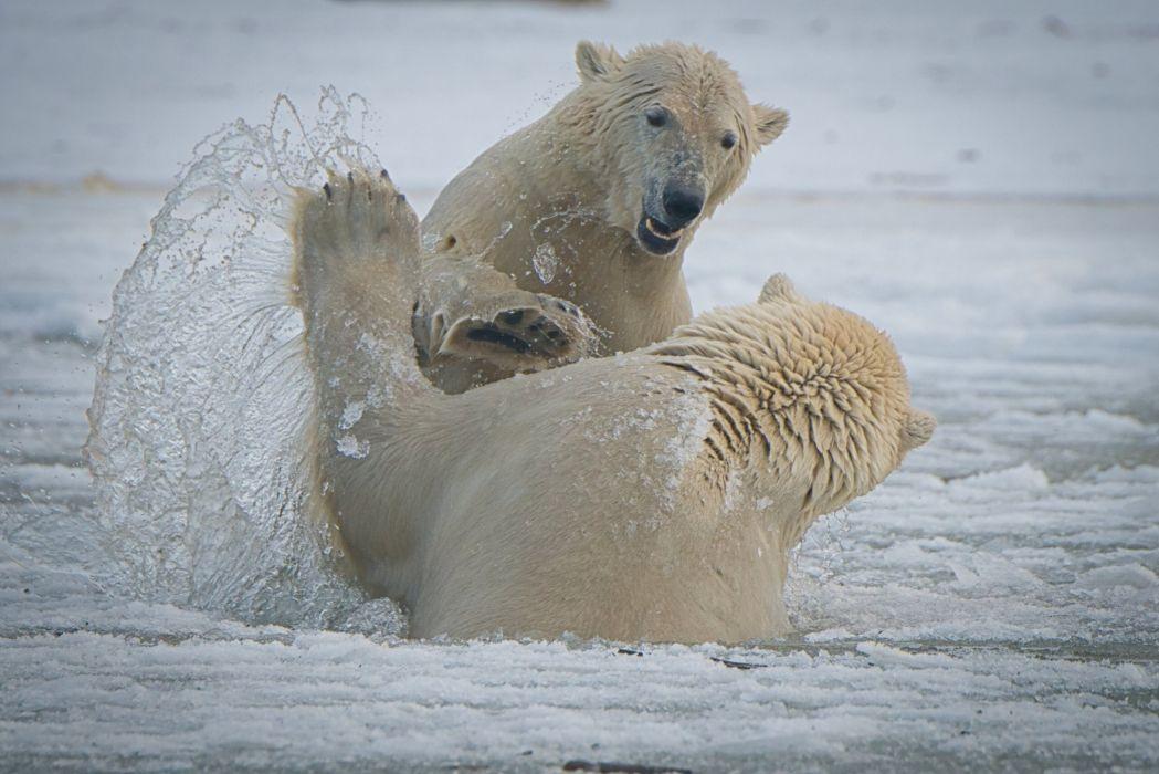 Bear Polar bears White Two Fight Spray wallpaper