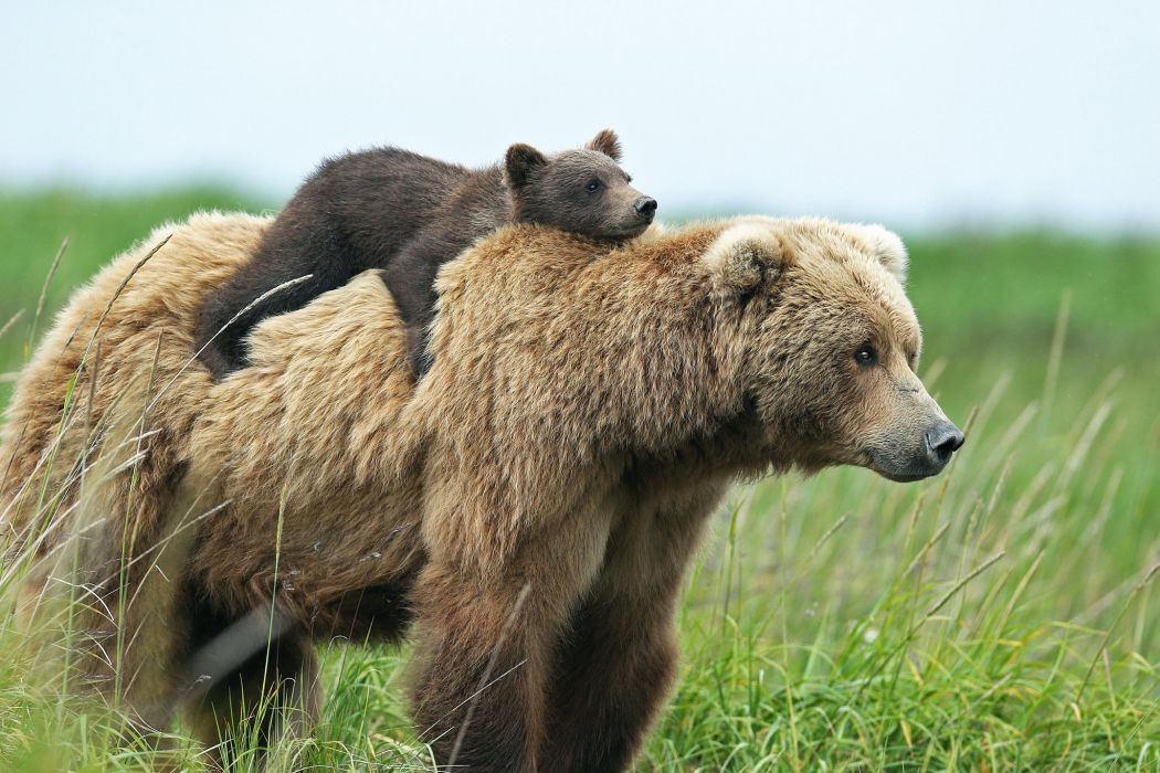 Bears Brown Bear Cubs Two Animals wallpaper