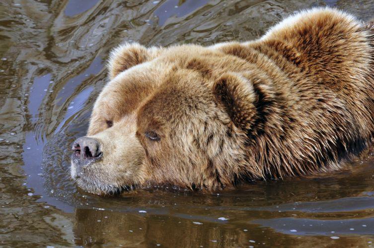 Bears Brown Bear Water Animals wallpaper