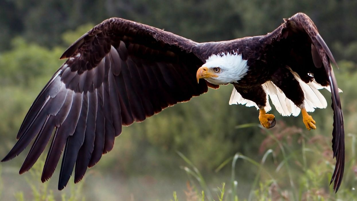 Birds Eagles Bald Eagle Animals wallpaper