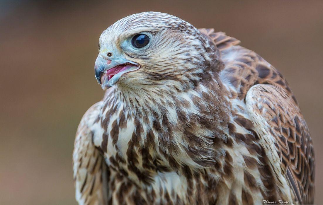 Birds Falcon Closeup Animals wallpaper