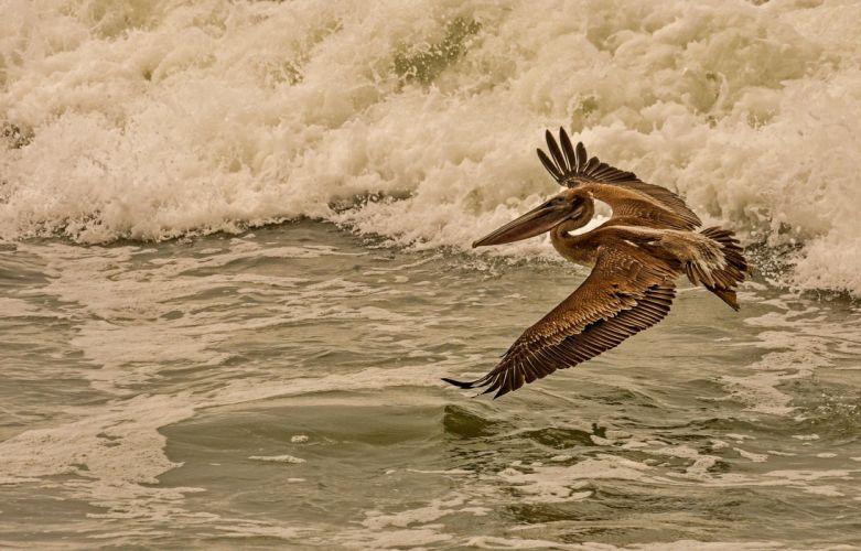 Birds Waves Pelican Water Flight Animals wallpaper