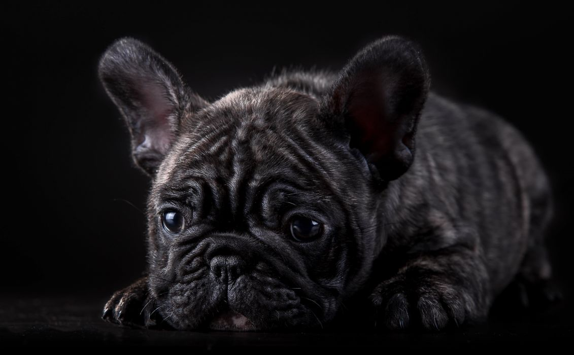 Black Glance Bulldog Animals wallpaper