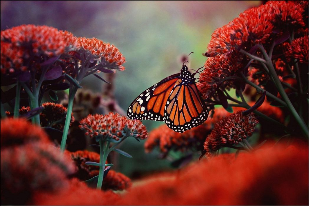 Butterflies Animals Butterfly d wallpaper