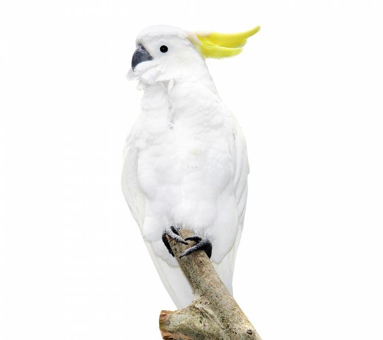 Birds Parrot White Animals wallpaper
