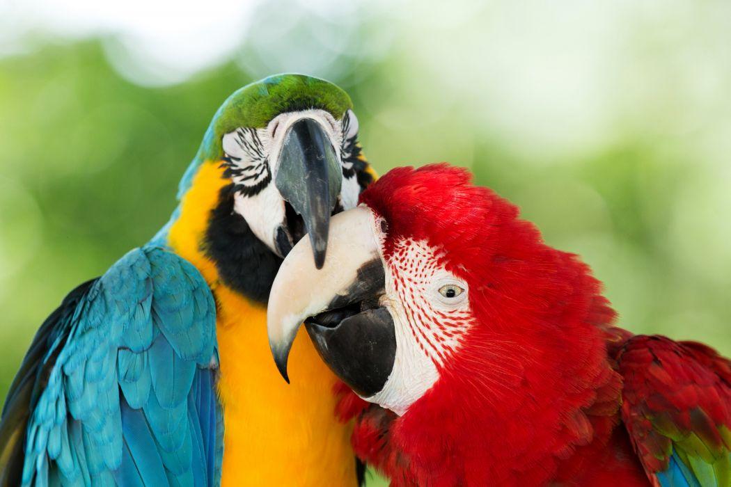 Birds Parrot Two Beak Animals wallpaper
