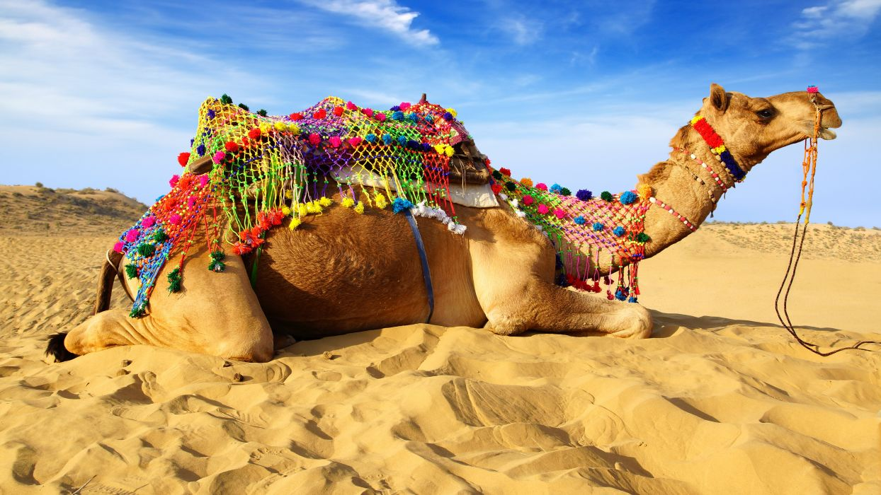 Camel Sand Animals wallpaper