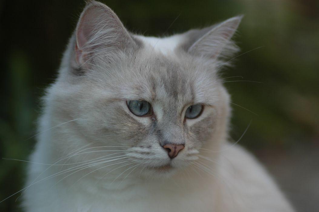 Cats Glance Ragdoll Animals wallpaper