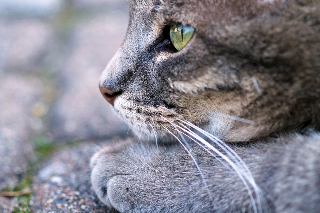 Cats Glance Whiskers Snout Animals wallpaper