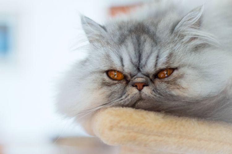 Cats Glance Fluffy Animals wallpaper
