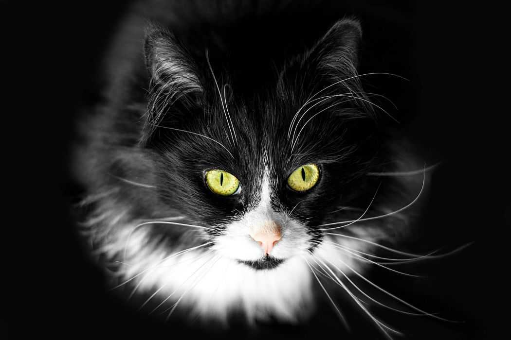 Cats Glance Whiskers Snout Black Animals wallpaper
