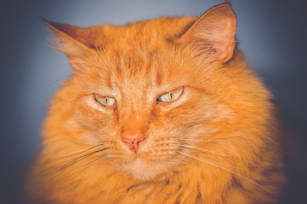 Cats Snout Ginger color Glance Animals wallpaper