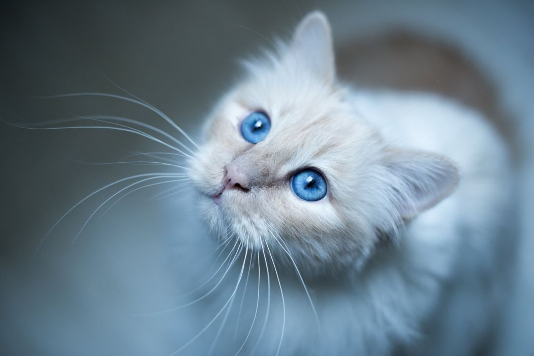 Cats White Glance Whiskers Animals wallpaper