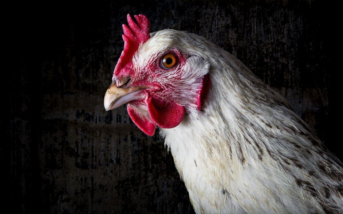 Chicken Head Animals wallpaper