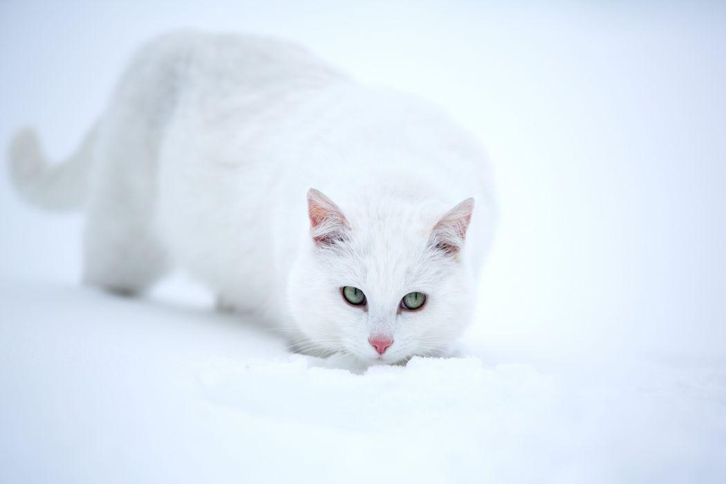 Cats White Snow Animals wallpaper