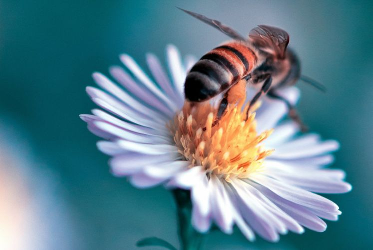 Closeup Bee Animals Flowers wallpaper