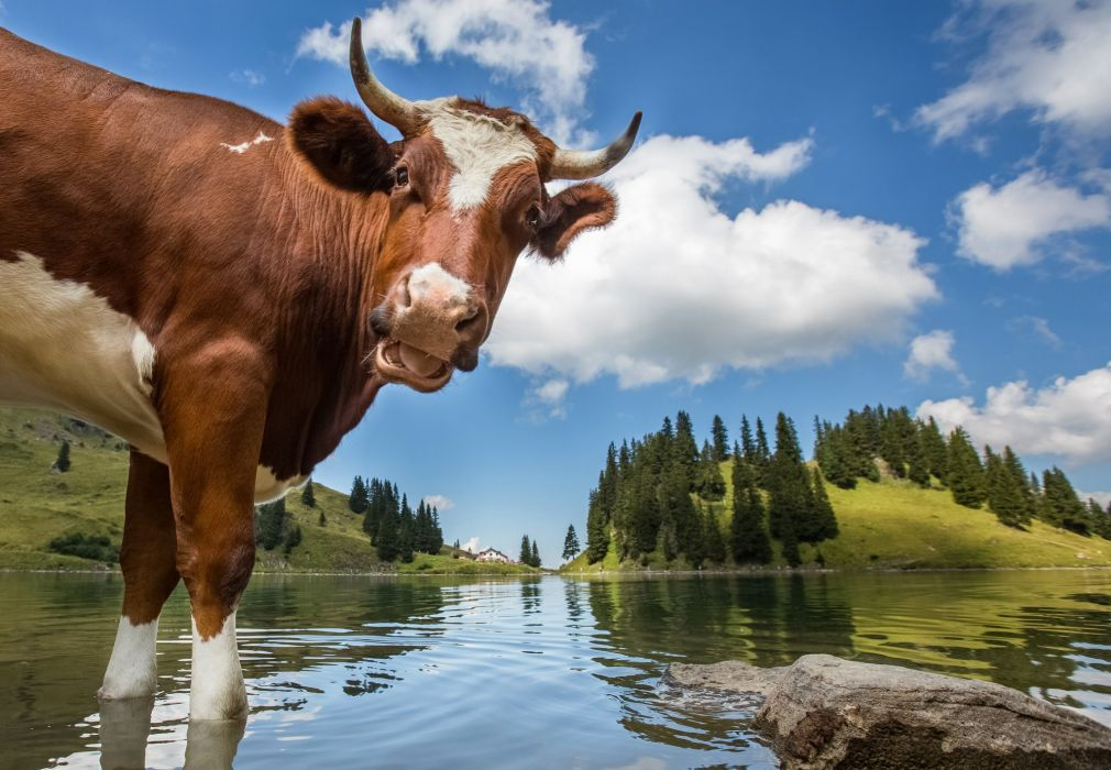 Cow Water Sky Lake Switzerland Clouds Animals Nature wallpaper