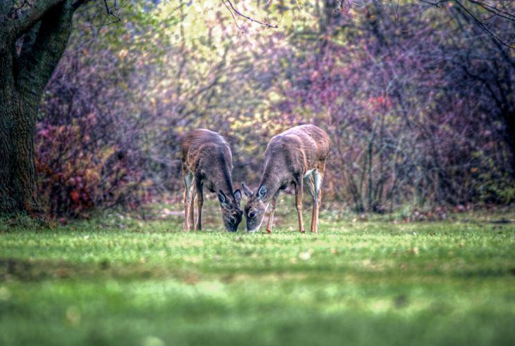 Deer Two Grass Animals wallpaper