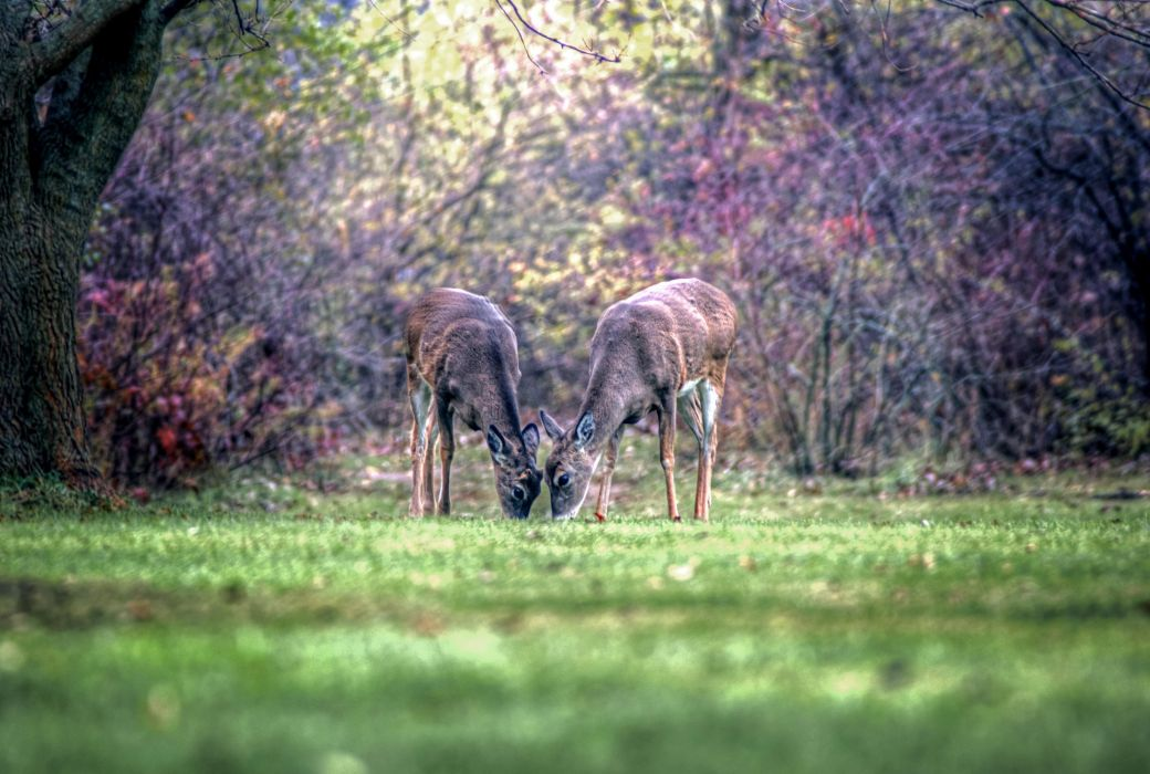 Deer Two Grass Animals wallpaper