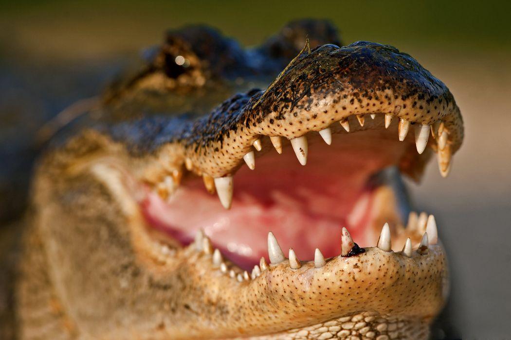 Crocodile Closeup Teeth Animals wallpaper