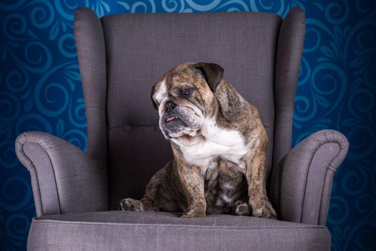 Dogs Bulldog Armchair Animals wallpaper