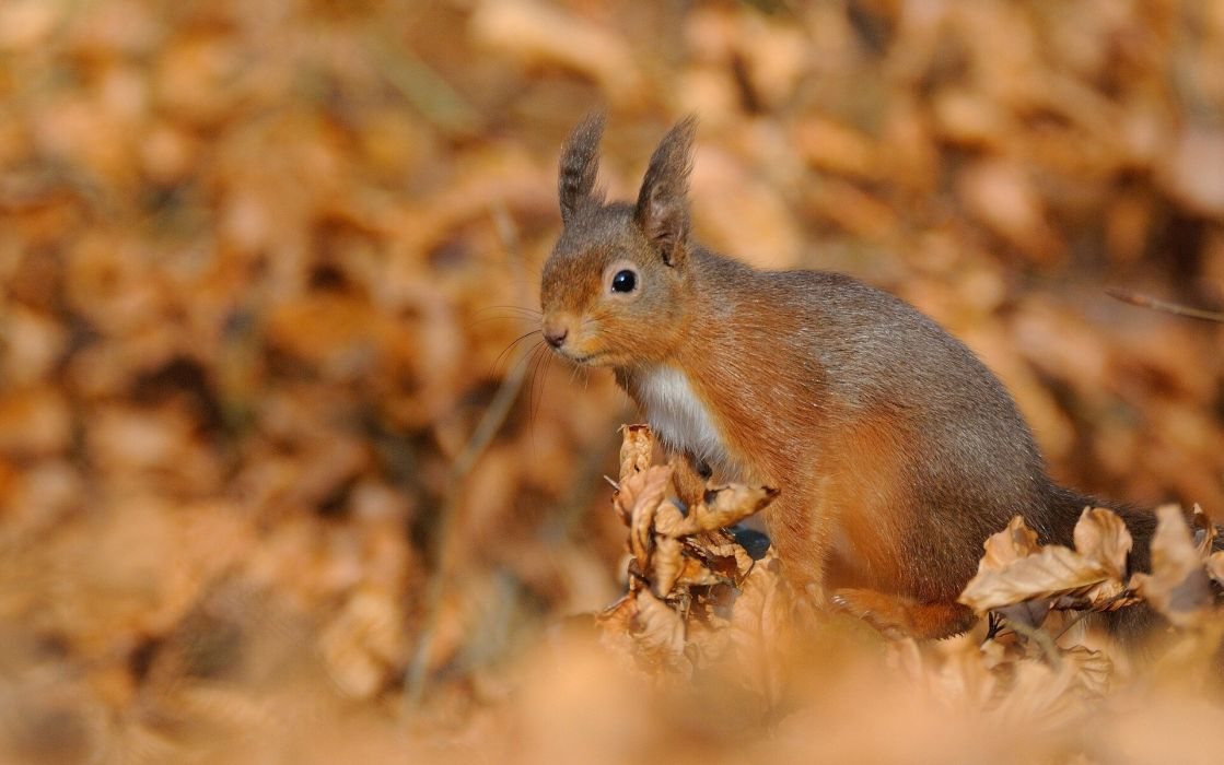 Squirrels Autumn Animals wallpaper