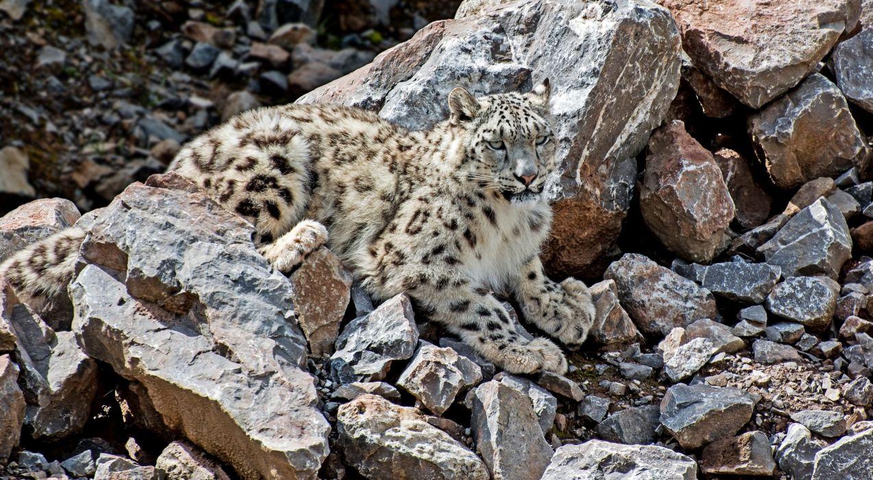 Snow leopards Stones Animals wallpaper