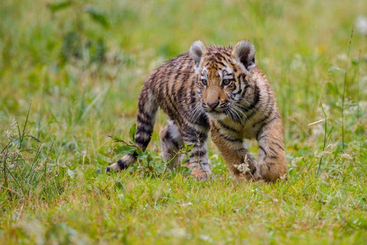 Tiger Cubs Grass Animals wallpaper