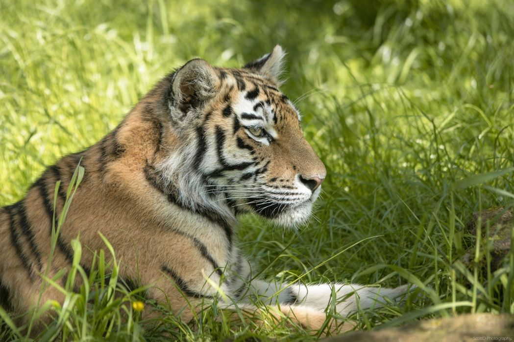 Tiger Grass Animals wallpaper
