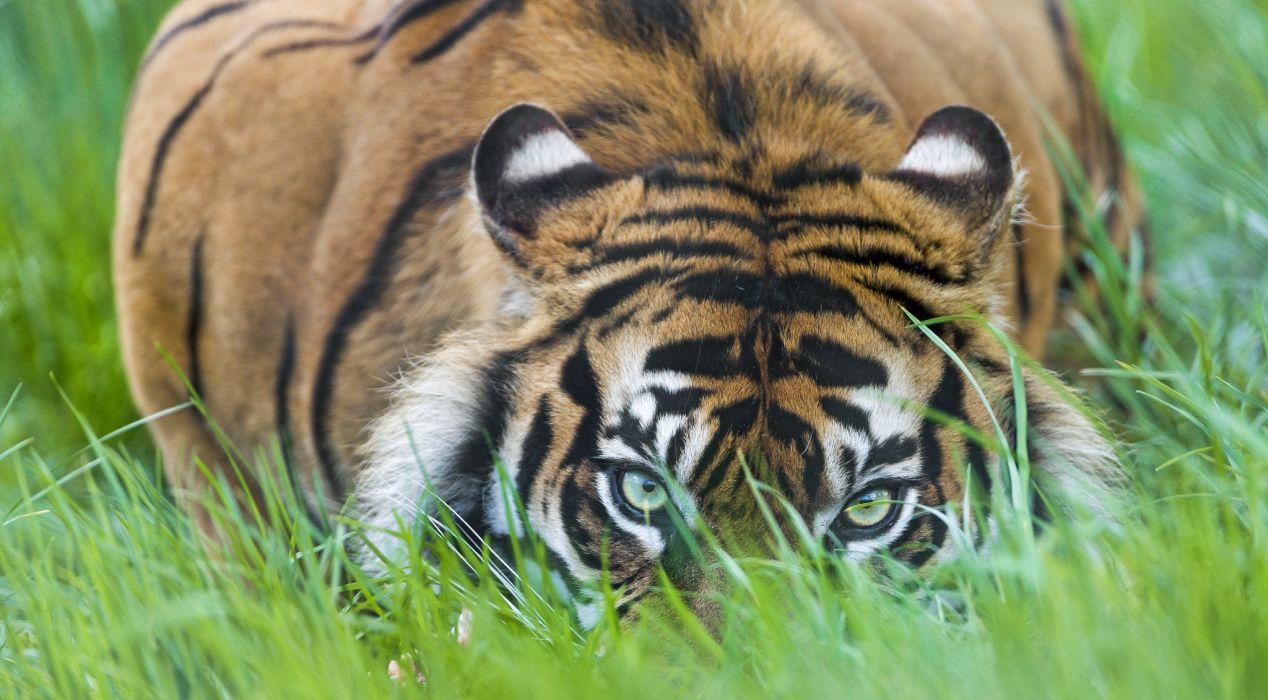 Tiger Glance Grass Animals wallpaper