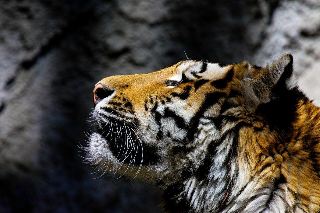 Tiger Head Animals wallpaper