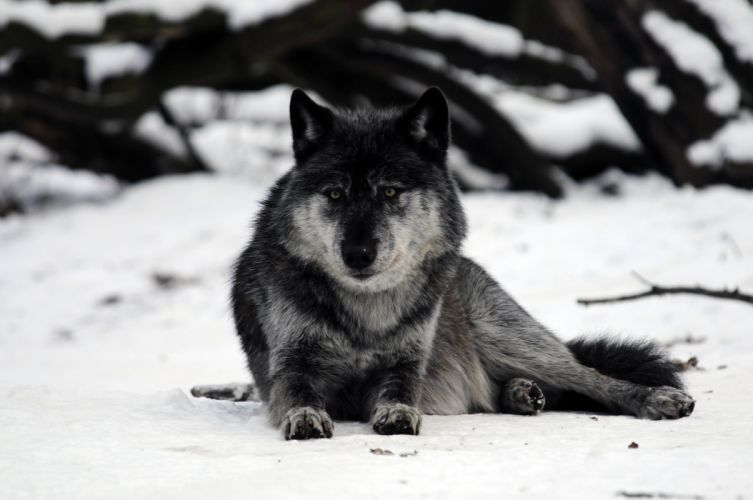 Wolves Snow Animals wolf wallpaper