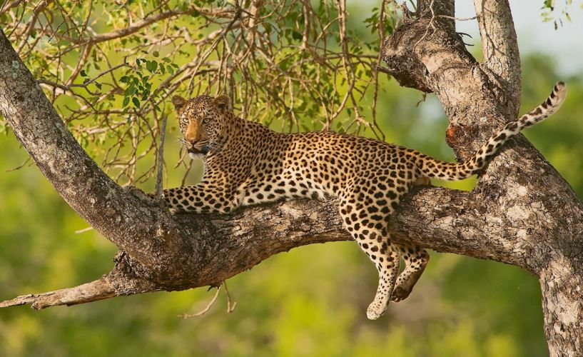Leopard Branches Animal wallpaper