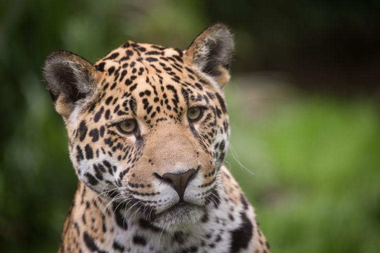 Jaguar Glance Snout Animals wallpaper