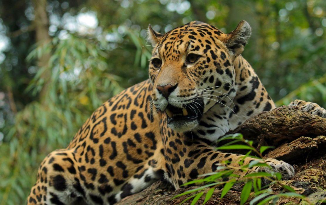 Jaguar Animals wallpapers wallpaper