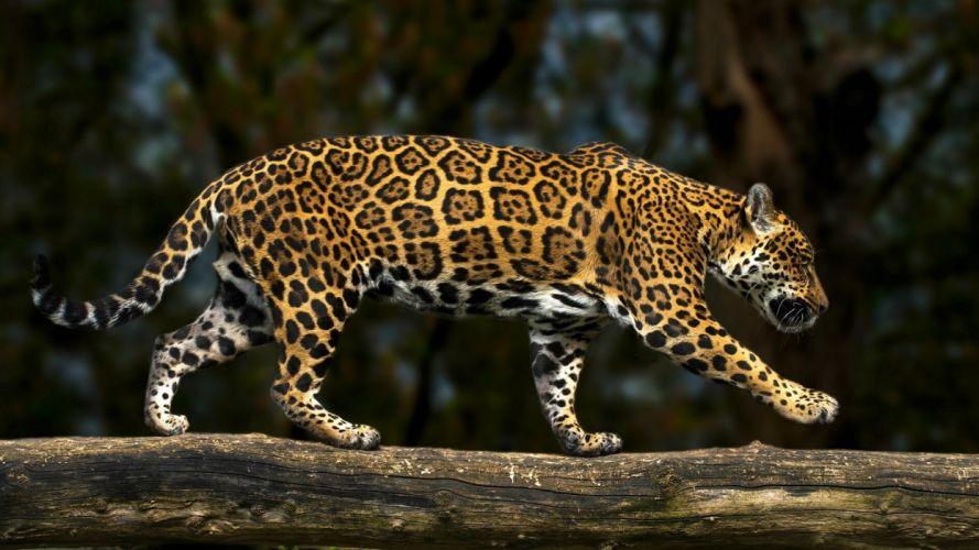 Leopard Side Animals wallpaper