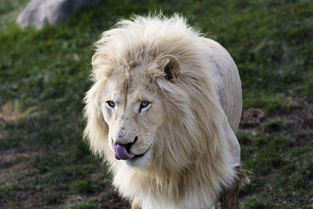 Lion White Animals wallpaper