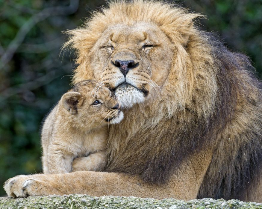 Lion Cubs Two Animals wallpaper