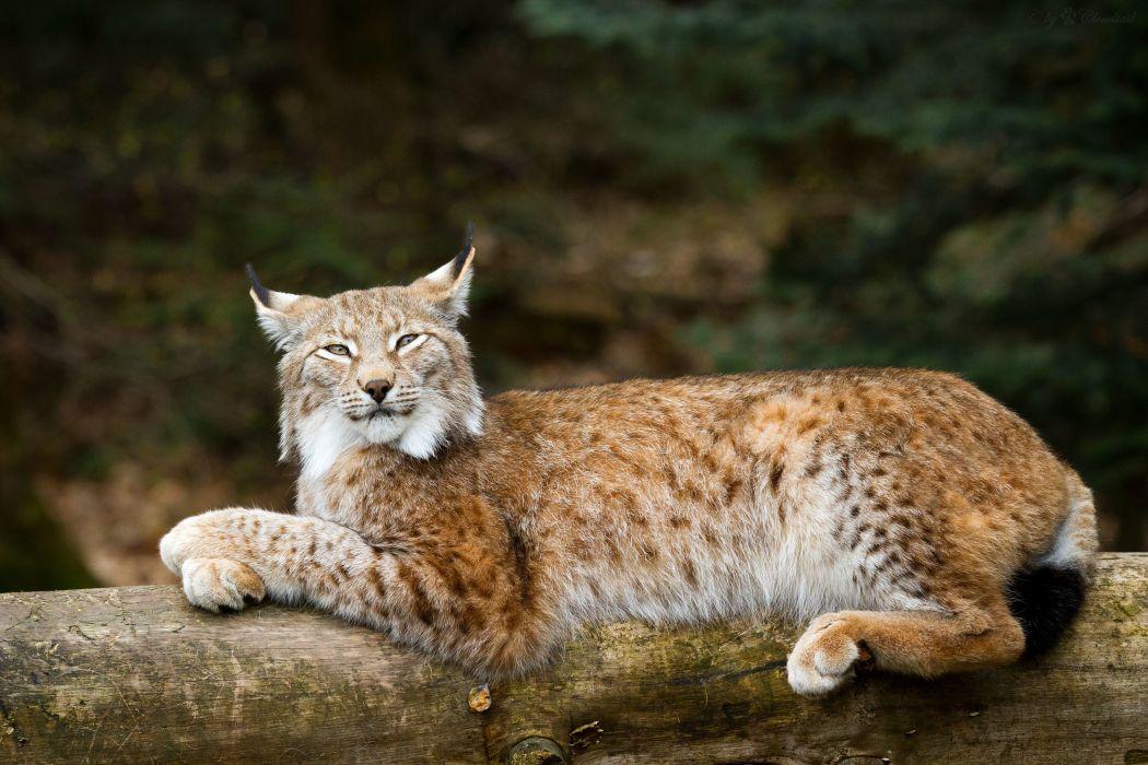 Lynx Animals f wallpaper