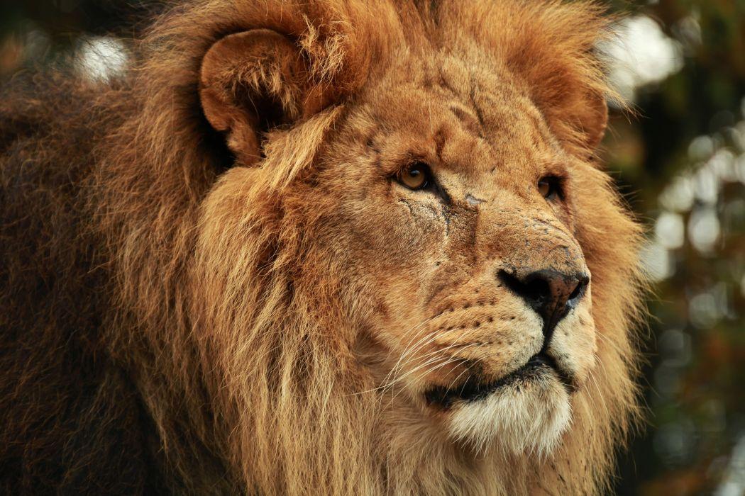 Lion Glance Snout Animals wallpaper